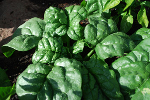 Hearty savoy spinach (http://www.grow-it-organically.com/)