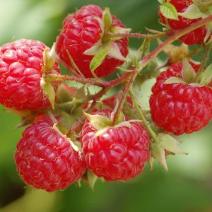 Freshly grown raspberries --yum! (amsterdamfreelibrary.org)